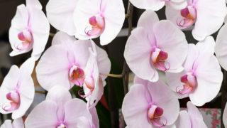HANAMAROで胡蝶蘭を購入前に特徴、メリット/デメリット、口コミをチェックしよう