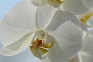 胡蝶蘭専門店ギフトフラワーの口コミの評価とおすすめポイント