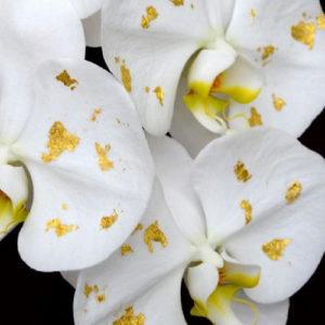 胡蝶蘭 おすすめ 通販サイト