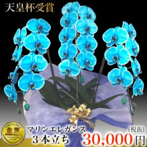 胡蝶蘭のインスタ映えには青色など珍しい色で