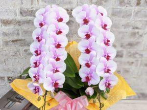 胡蝶蘭は猫と一緒に生活できる数少ない植物です
